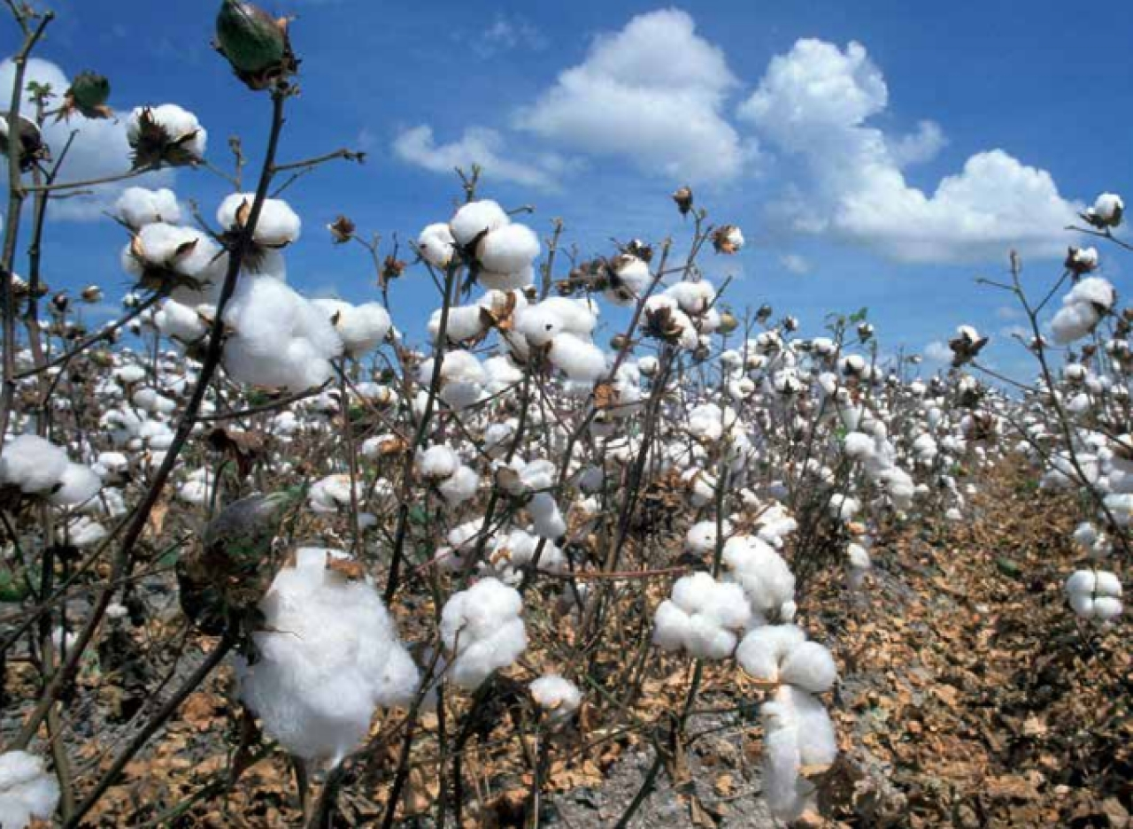 Bt cotton has raised our country's production severalfold. In 2014-15, India  became the world's second largest cotton producer, after China.