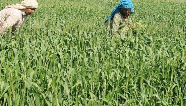 Rain shortfall May Hit Wheat Crop In Himachal Pradesh