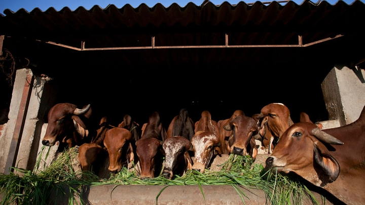 Yogi Adityanath Government Approves Proposal To Set Up Cow Shelters In Jails