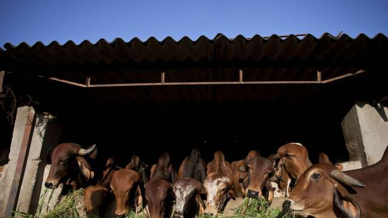 Uttar Pradesh: Man Killed By His Own Community For Alerting Police Over Planned Cow Slaughter