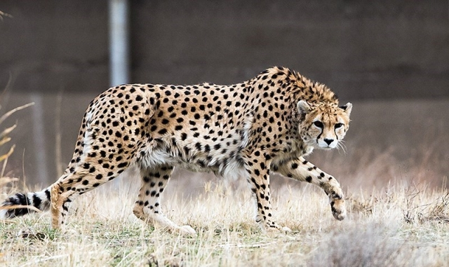 An Asiatic cheetah in Iran. (Tasnim News Agency/Wikimedia Commons)