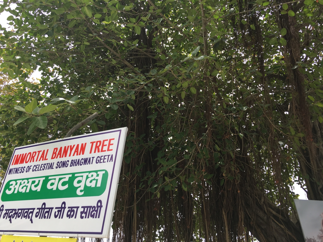 The sacred tree at Jyotisar.