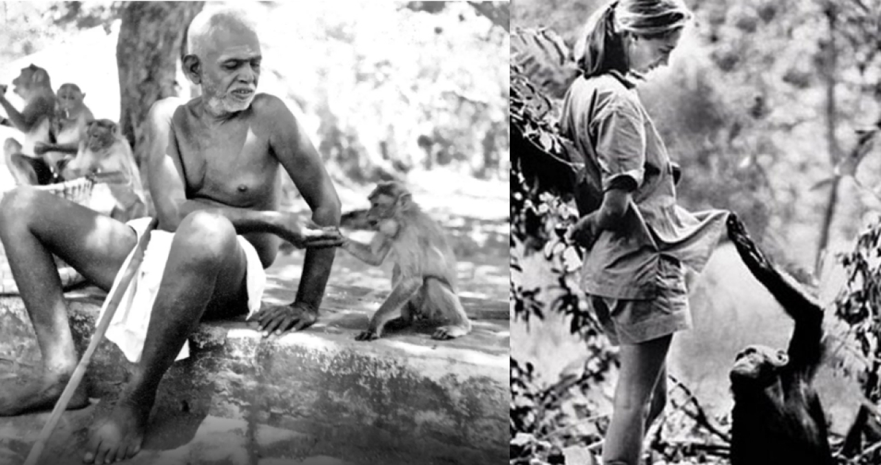 """Both Ramana Maharishi and Jane Goodall used """"he"""" and """"she"""" to refer to non-human primates. Maharishi's observations on monkey communities are insightful treasures which need to be studied by cognition scientists."""