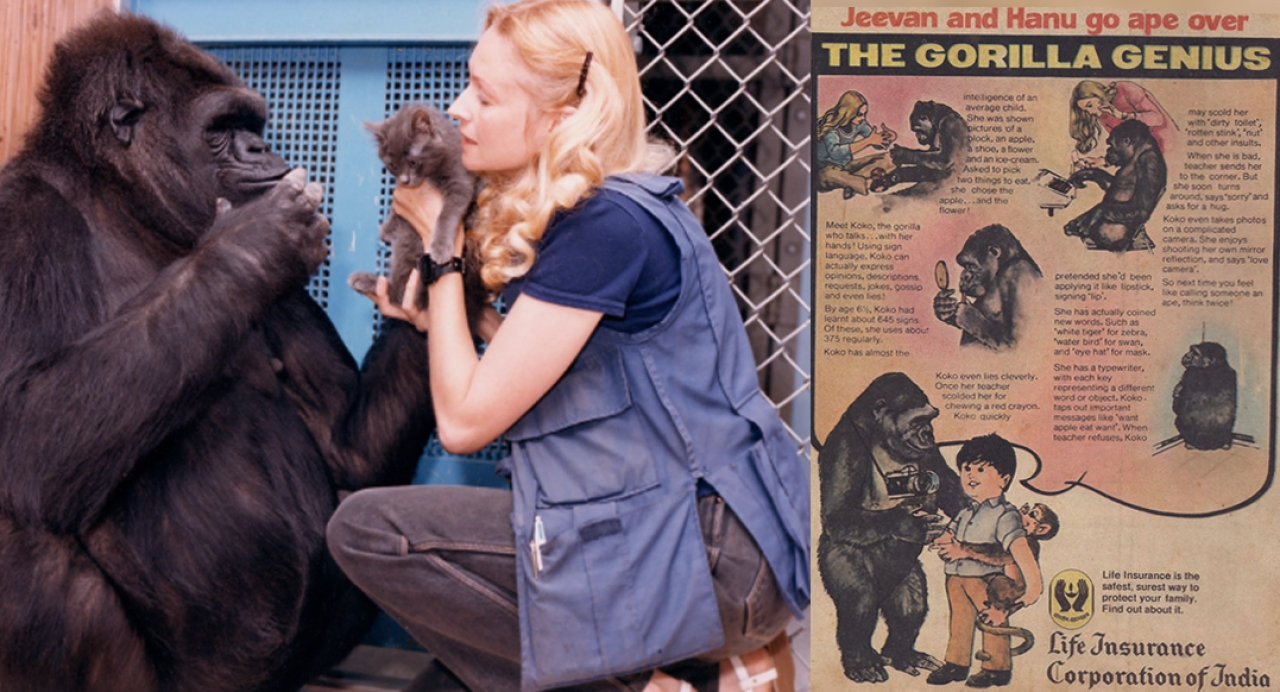 Koko with researcher and her friend Francine 'Penny' Patterson. The 1980s kids in India learnt about the linguistic skills of Koko from the LIC advertisement, which informed also that when caught eating a red crayon, Koko pretended like she was applying lipstick.