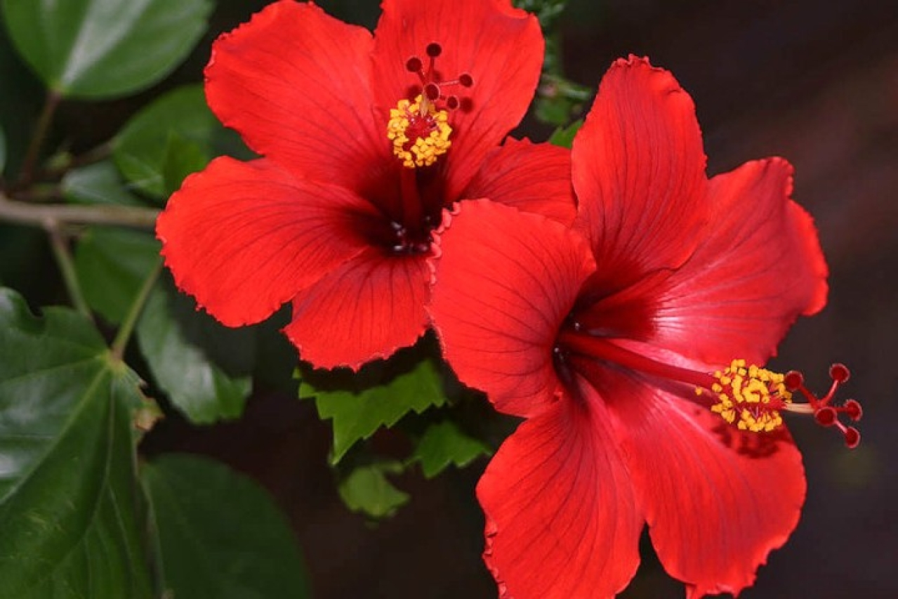 Hibiscus ... sacred, medicinal