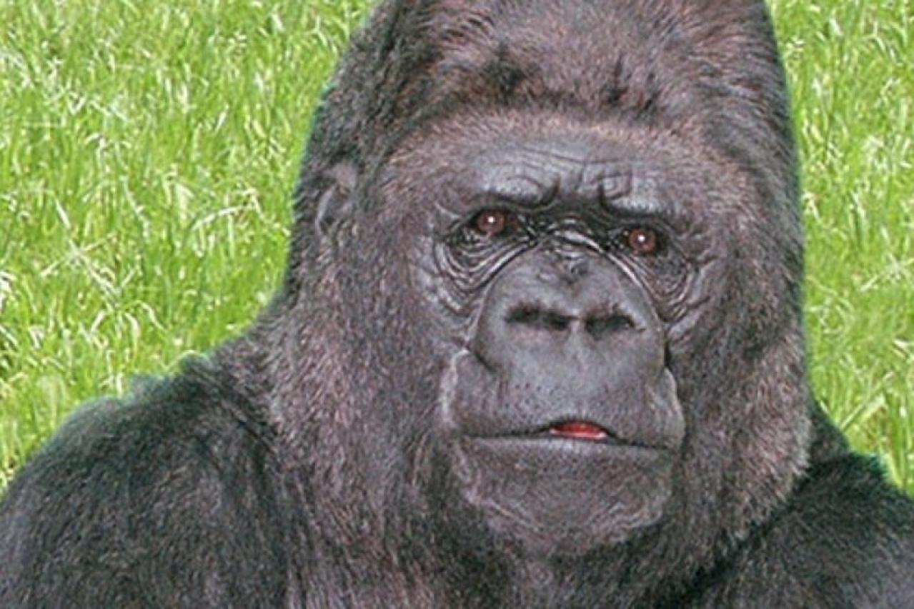 Koko, the gorilla. (Gorilla Foundation @kokotweets)