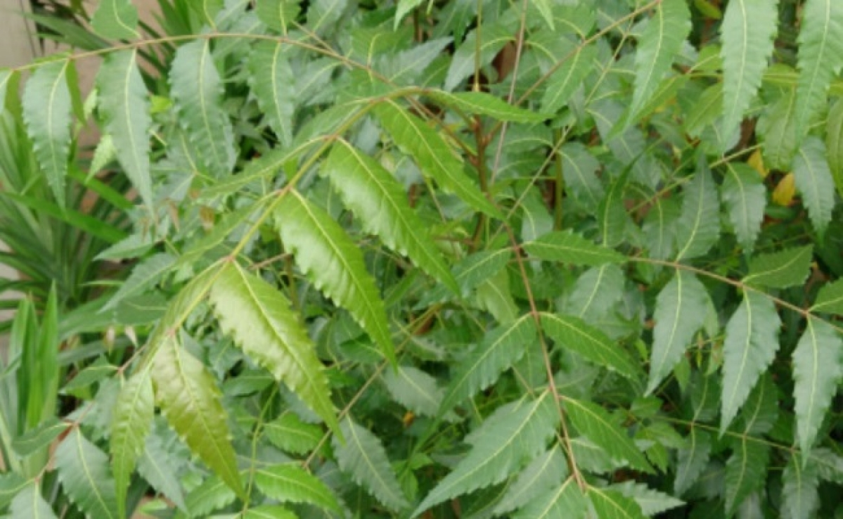 कोरोना से जंग: नीम की पत्तियों से खुद बनाएं सैनिटाइजर, जानिए कैसे करेगा फायदा