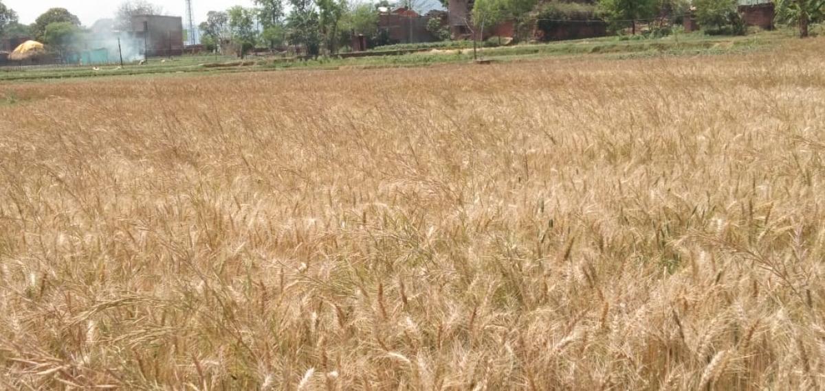 कोरोना वायरस का डर : खेत भी नहीं जा रहे किसान, बर्बाद हो रही गेहूं की फसल