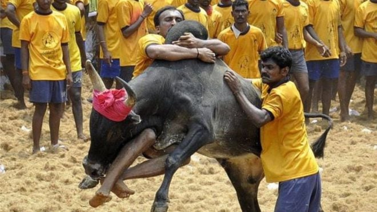 #Jallikattu: Will the Supreme Court deliver judgment or close the 'lis'?