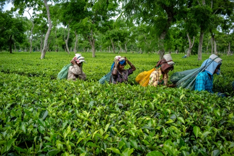 Workers carry bags of tea leaves at the Korangani Tea Estate in the Dibrugarh district of Assam, India, on  August 20, 2016. (Photographer: Sanjit Das/Bloomberg)