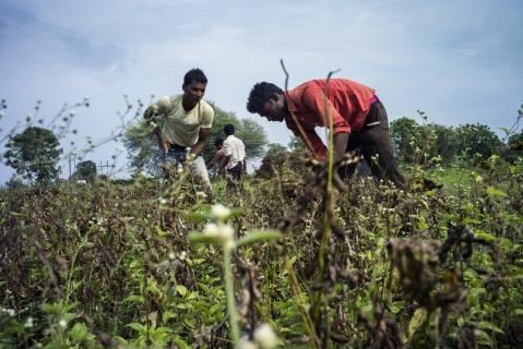 Day laborers cut soybean plants with sickles during a crop harvest at a farm in the district of Burhanpur, Madhya Pradesh, India. (Photograph: Sanjit Das/Bloomberg)