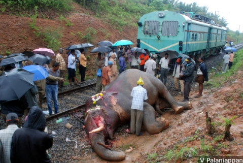 An elephant killed due to a train collision on the Palakkad-Coimbatore railway line. Electrocution, train accidents, poaching and poisoning caused nearly 77 percent of elephant deaths (500 of 655) between 2012 and 2017, according to 2012 census data.