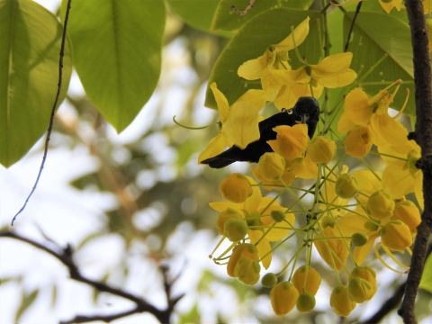 A purple Sunbird drinks from a laburnum blossom in Delhi's Sarojini Nagar, a site where trees are proposed to be cut for 'redevelopment'. (Photograph: Neha Sinha)