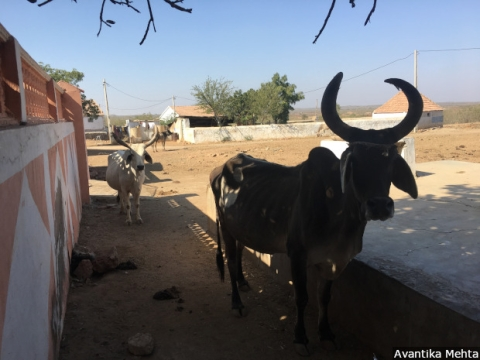 Cattle-rearing in Kutch has been on a decline owing to prolonged drought. Water scarcity has forced residents to take half or more of their chattel towards regions to their north, sometimes traveling more than 300 km with their livestock to reach Ahmedabad district in search of greener pastures.