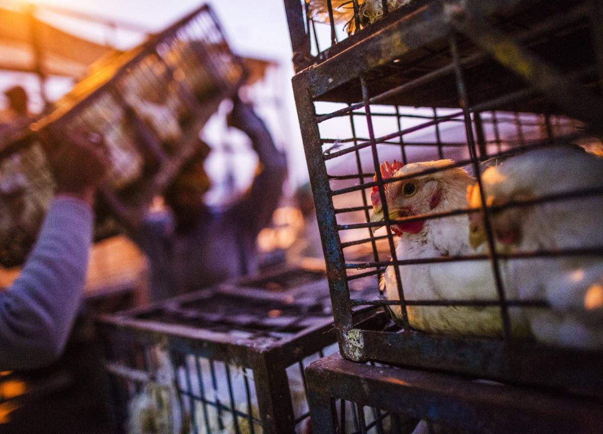 Indian Poultry Sales Drop on Virus Rumors Spread by Social Media