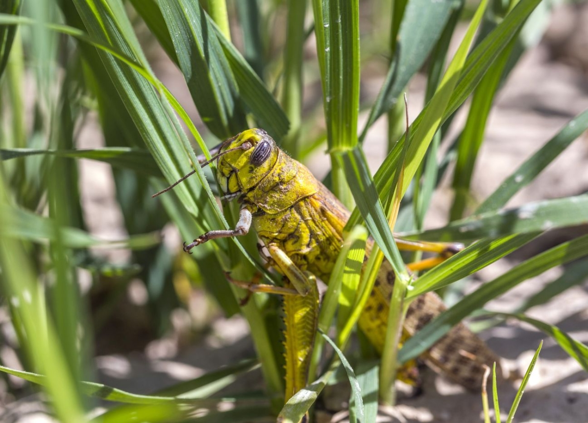 'Our Children Will Starve' Say Pakistan Farmers as Locusts Breed