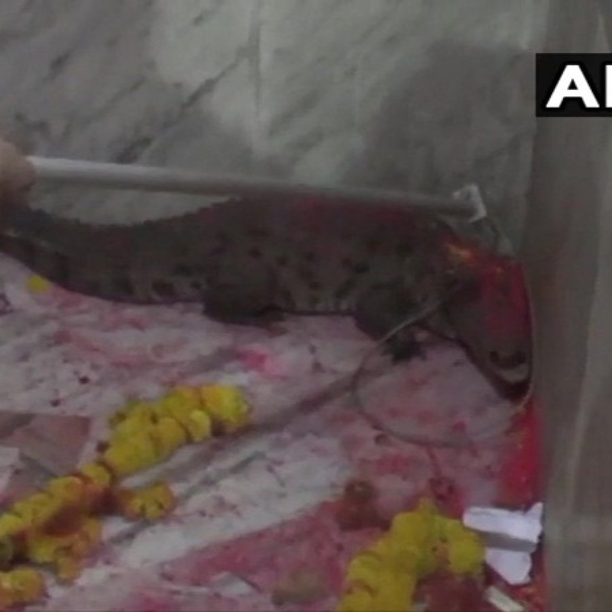 Gujarat: Crocodile strayed inside temple, devotees gather claiming it to be 'auspicious'