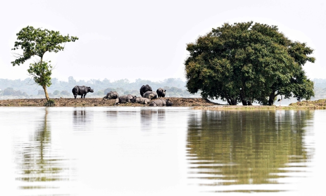 One-horned rhinoceros take shelter on a higher-land in the flood affected area of Kaziranga National Park in Assam on July 18, 2019.