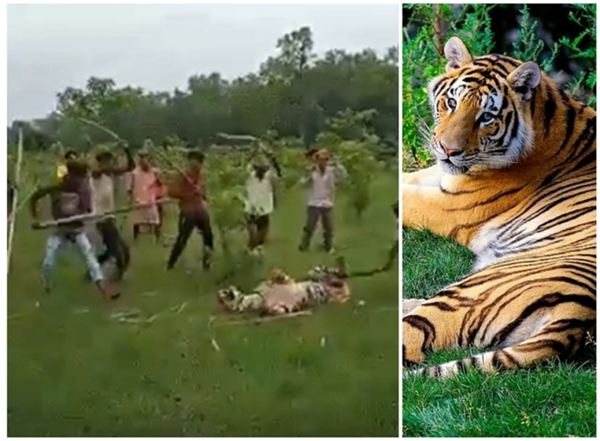 Who is the animal? 5 days before International Tiger Day, villagers in Uttar Pradesh mercilessly beat tigress to death