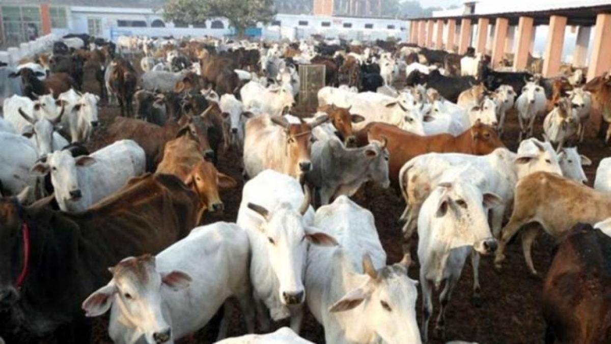 Mumbai: 'Stray' cows will cost owners dear