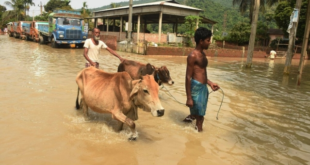 Villagers with their cattle wade through a flooded road following heavy monsoon rain at Panikhaiti in Kamrup district of Assam