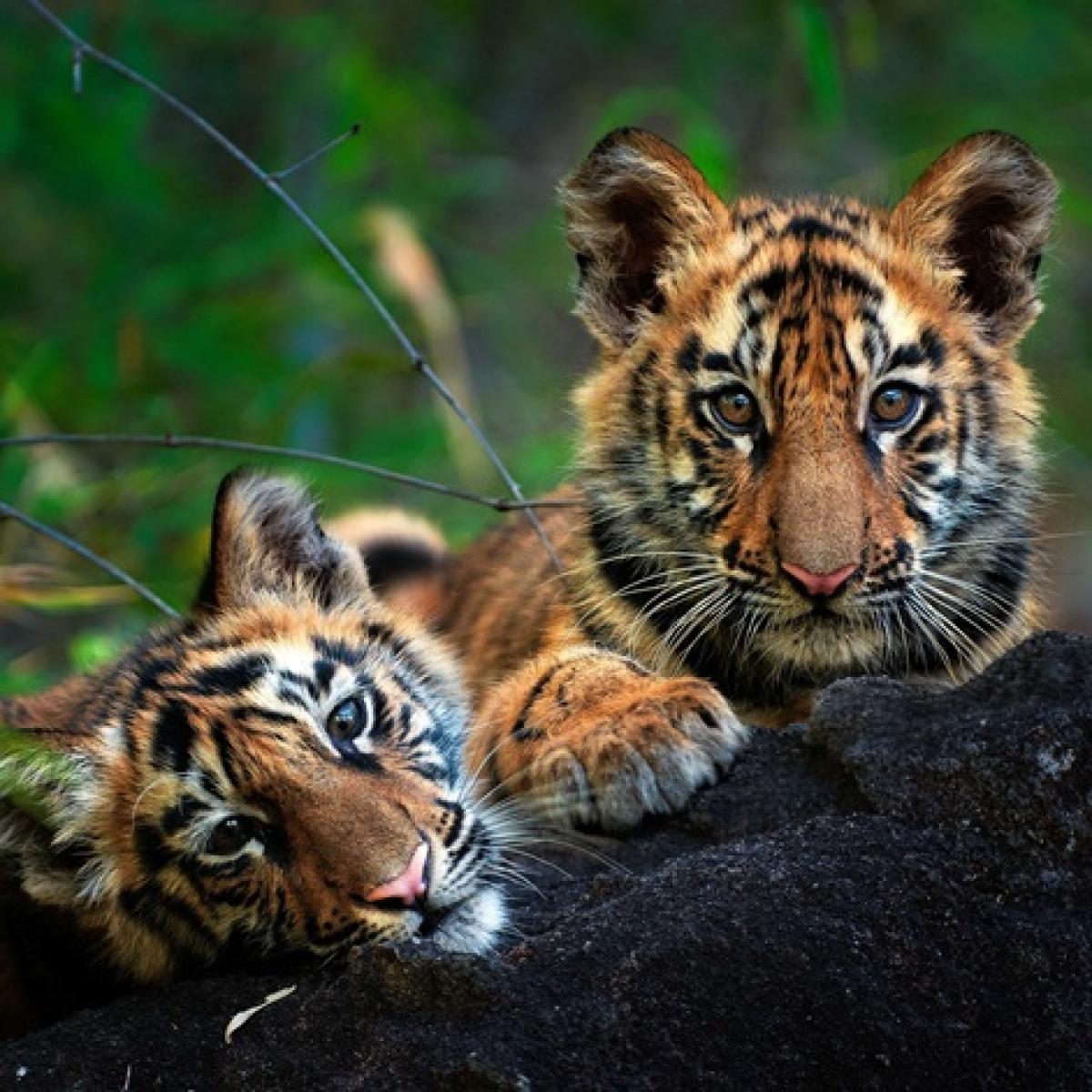 Conservation efforts double Maharashtra tiger population since 2010
