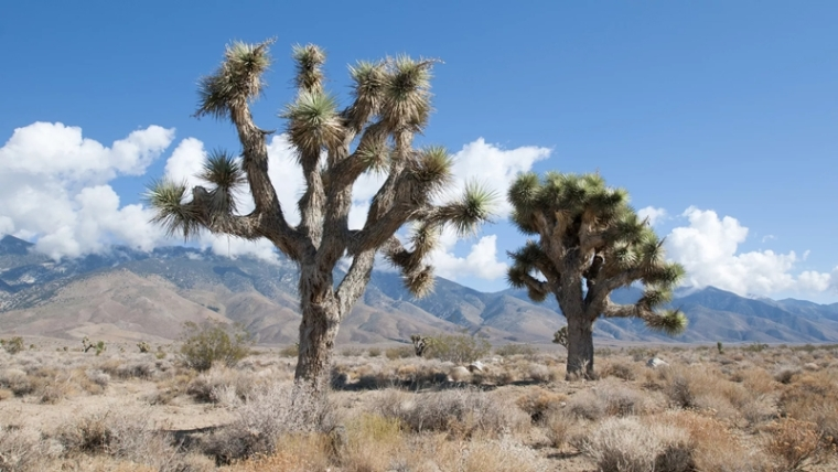 California's Joshua trees at the risk of disappearing