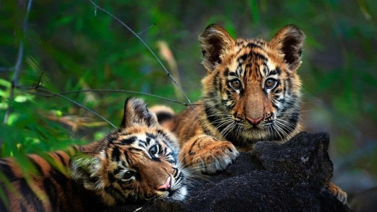 Bhopal: 'Kingdom of Tigers' exhibition till Aug 14