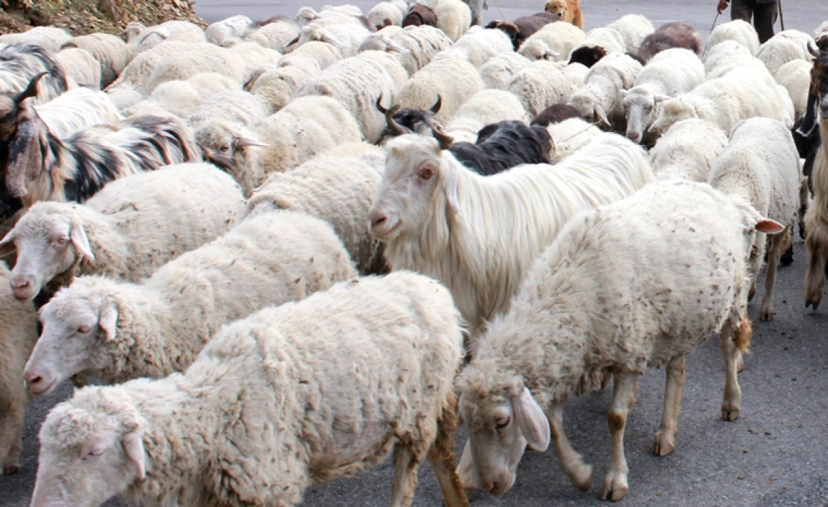 UP man asked to give 71 sheep as 'compensation' for eloping wife