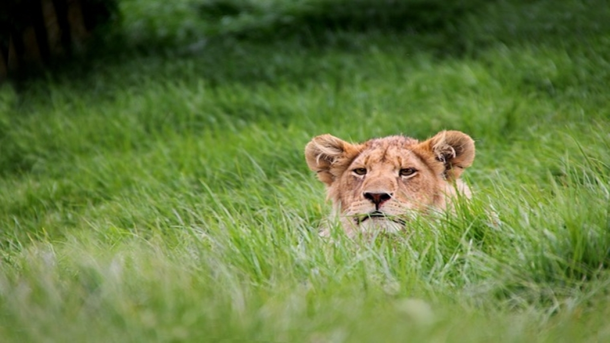 Video of a lion eating grass surprises netizens, breaks a myth