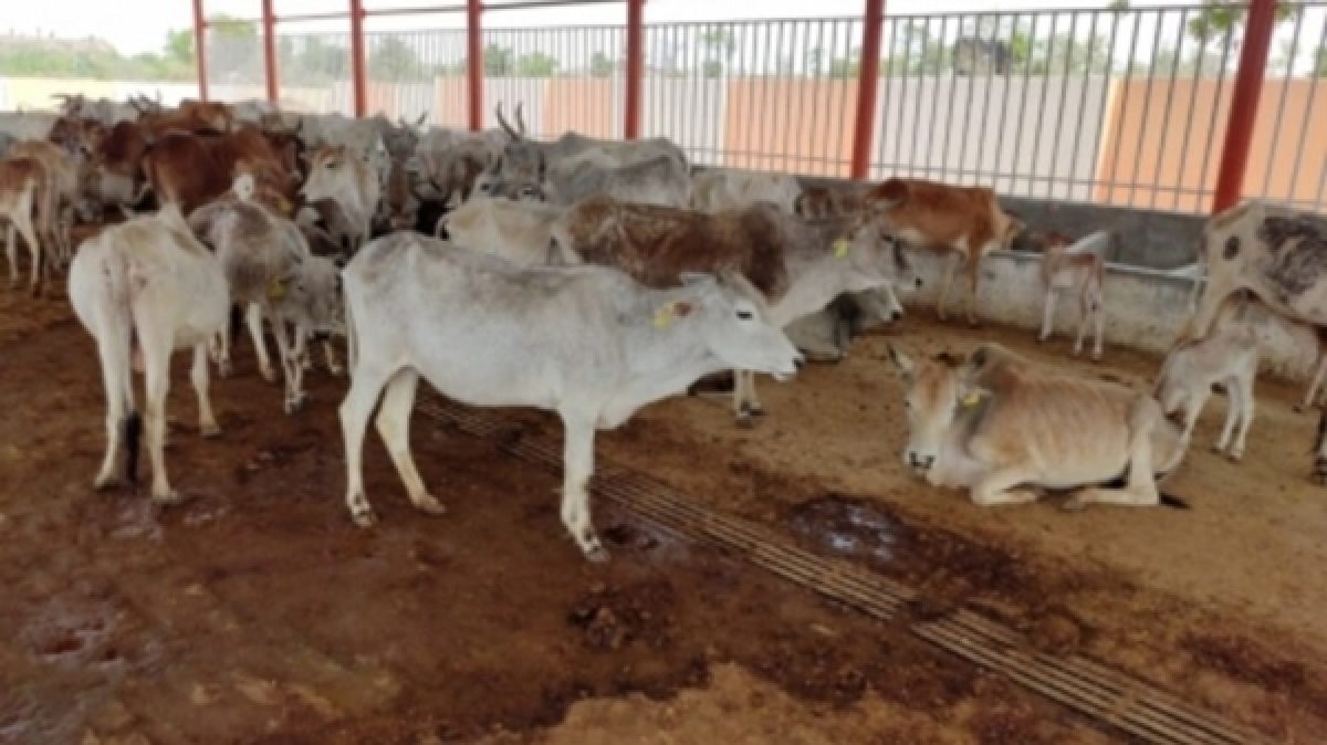 Bhopal: 25 cows electrocuted in LoPs constituency