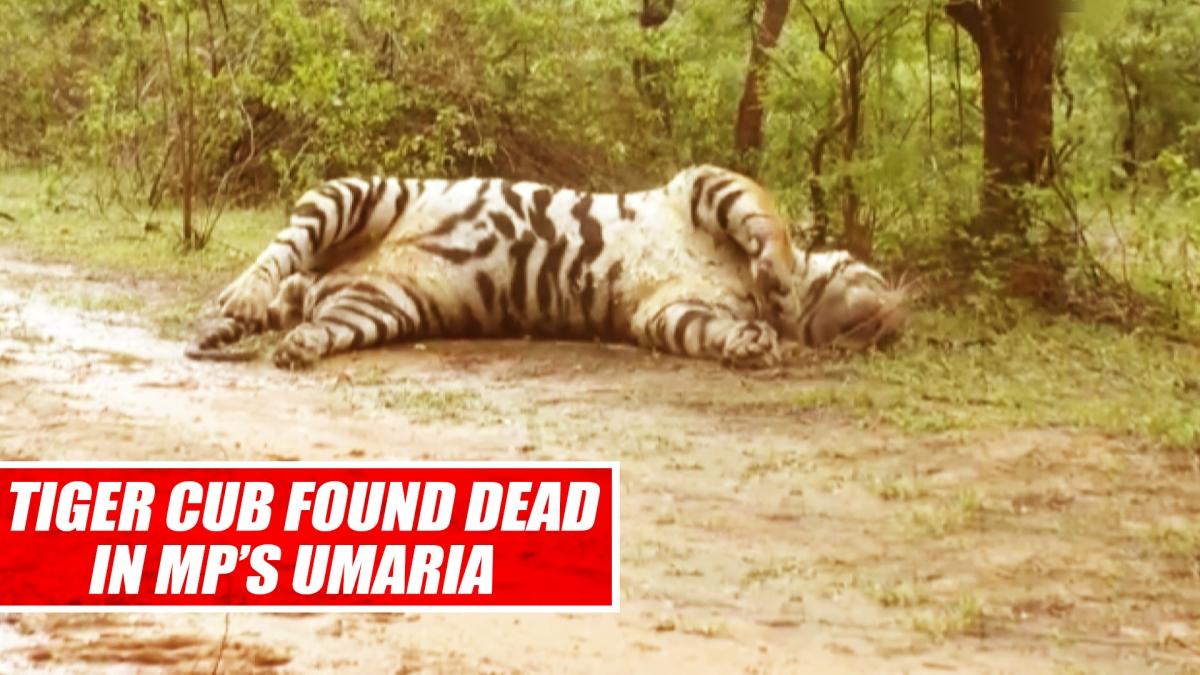 Tiger Cub Found Dead In MP's Umaria