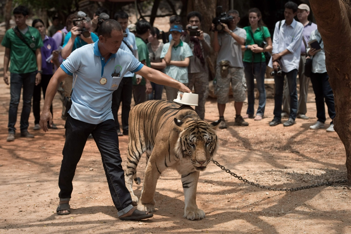 Dozens of tigers rescued from Thai temple die due to genetic problems