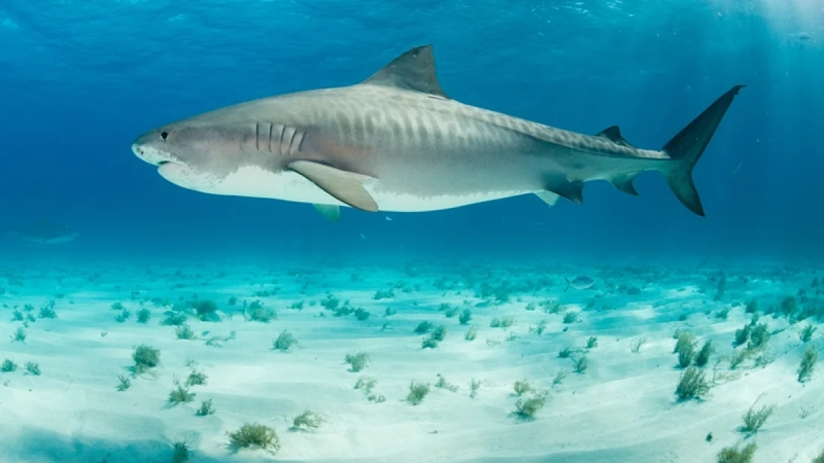 Climate change is affecting shark pups