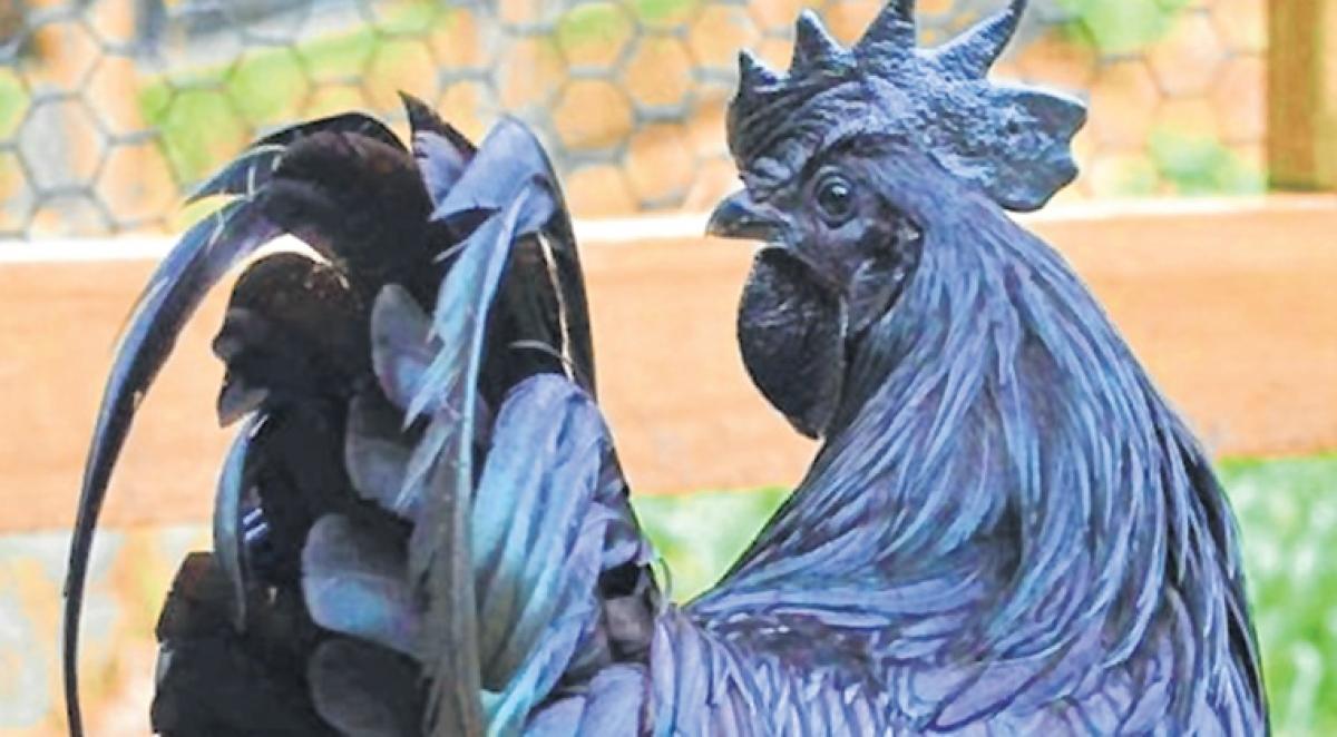 Black hens fail to lay golden eggs
