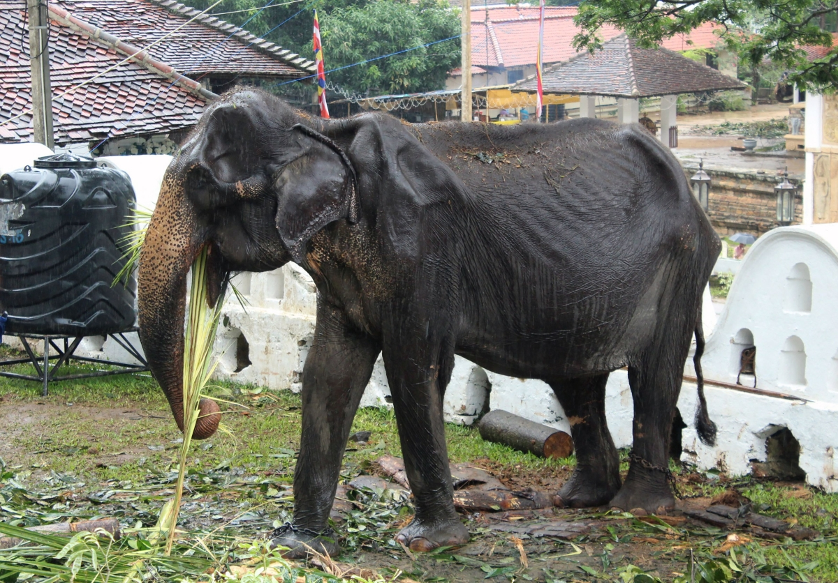 70-year-old elephant dies in Sri Lanka weeks after parade outcry