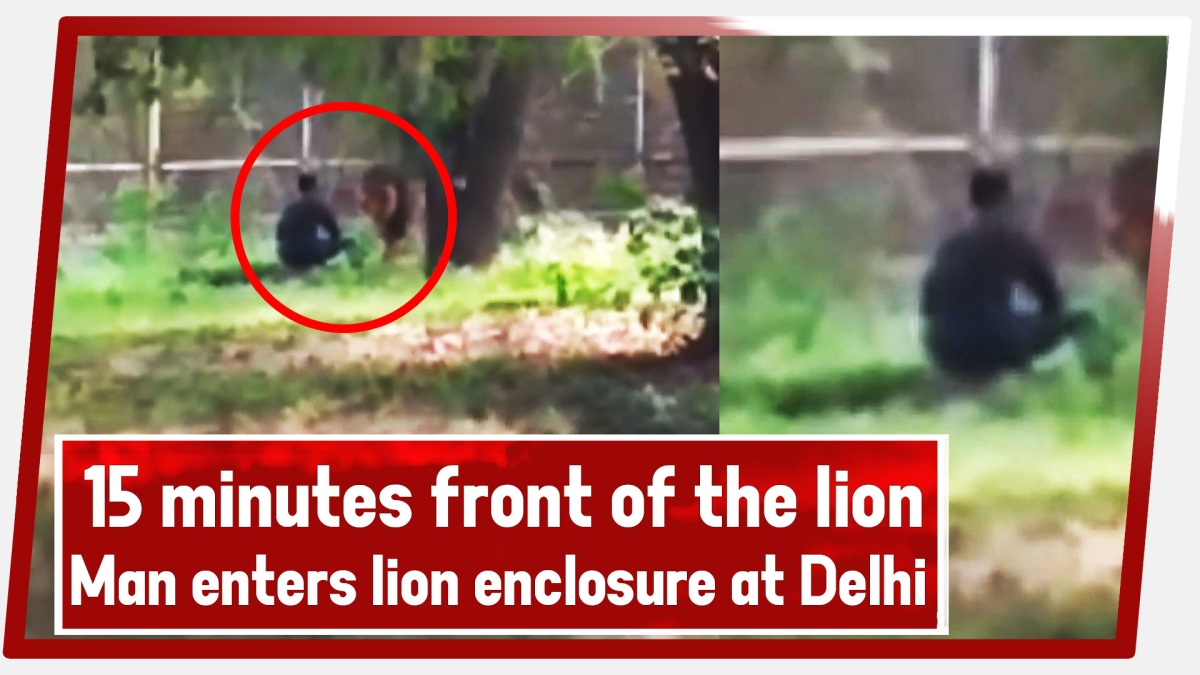 15 Minutes In Front Of The Lion | Man Enters Lion Enclosure At Delhi Zoo, Later Rescued