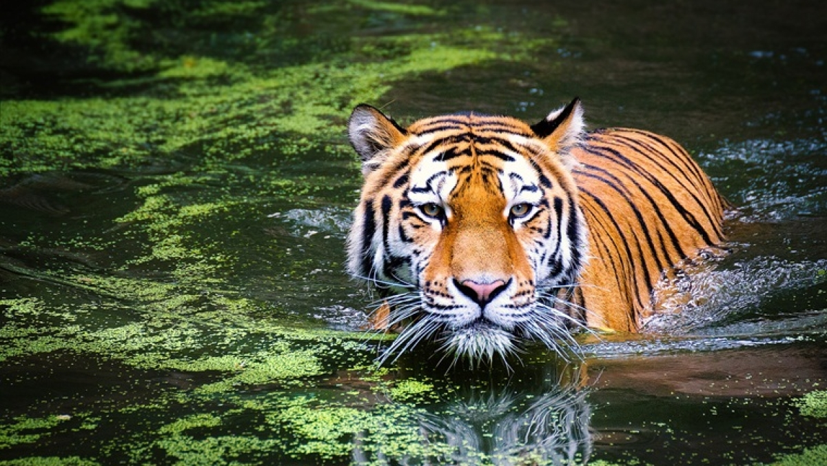 Ek tha tiger: Jungle cat stuck in river bed dies after rescue effort fails