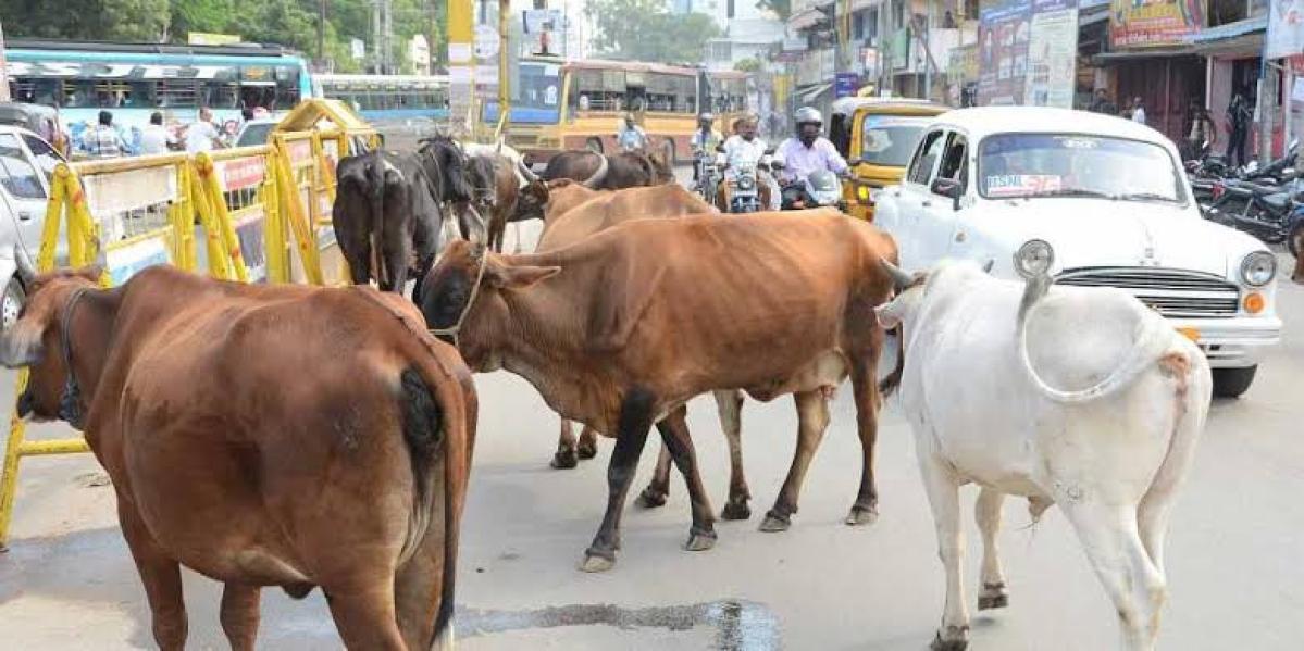 Bhopal: 10 lakh destitute cows, big concern for govt