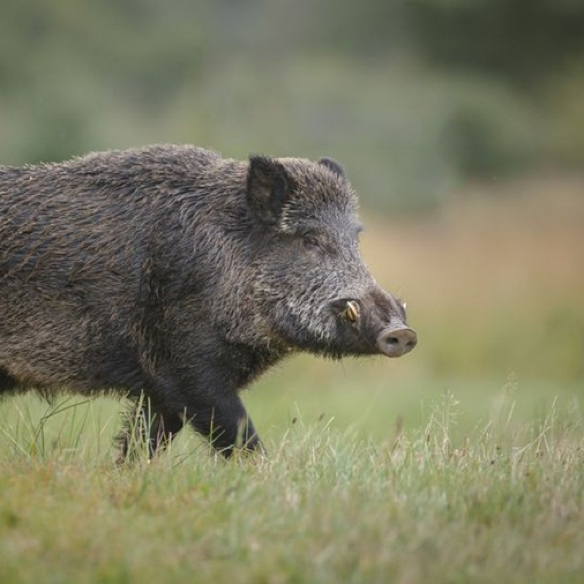 Wild boar eats cocaine worth Rs 15 lakh in Italy forest