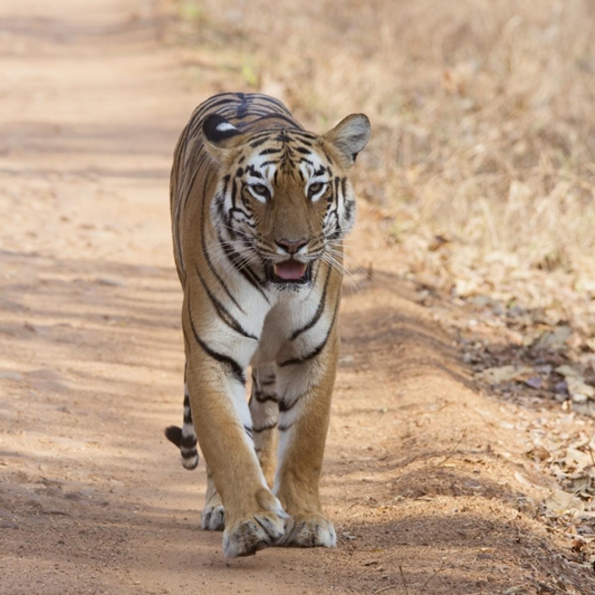 Tiger travels 200 km from Yavatmal, on prowl in Hingoli farms