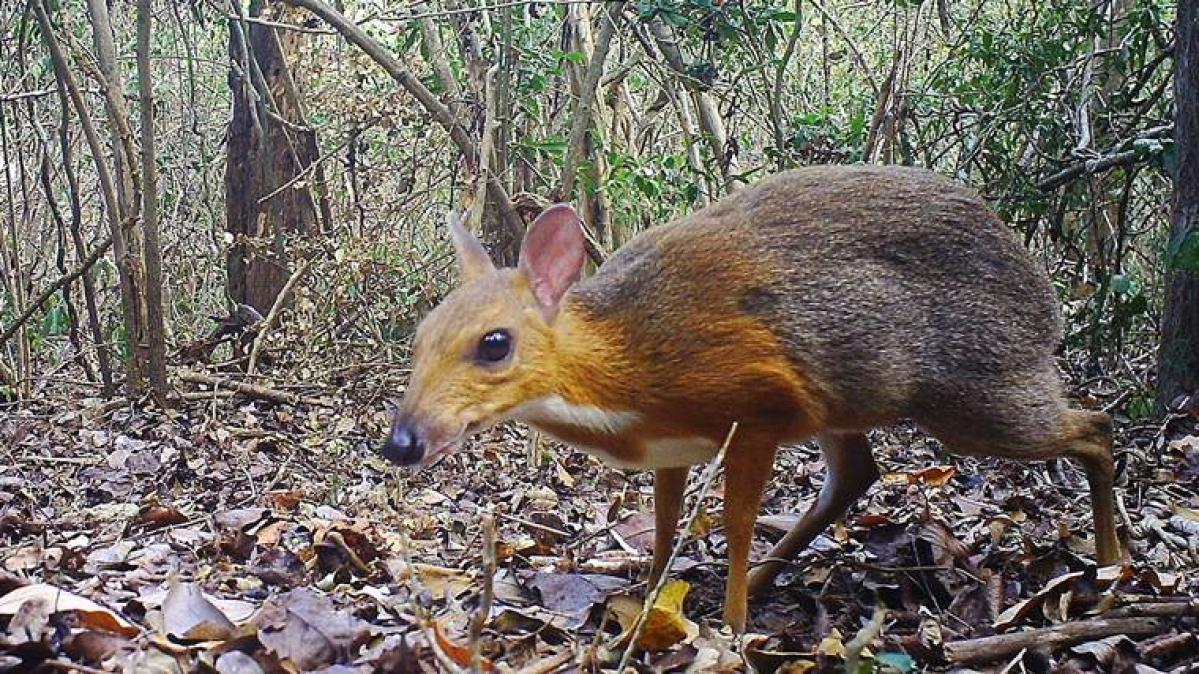 Tragulus versicolor, a deer-like species believed to be extinct rediscoverd after 30 years in Vietnam.