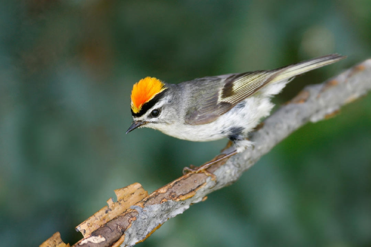 Birds are shrinking in size, thanks to climate change