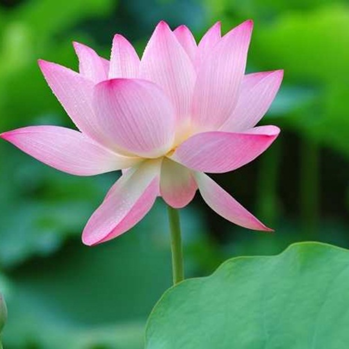Dear MEA, the lotus is not India's National Flower