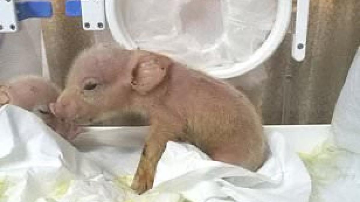 pig-monkey hybrid