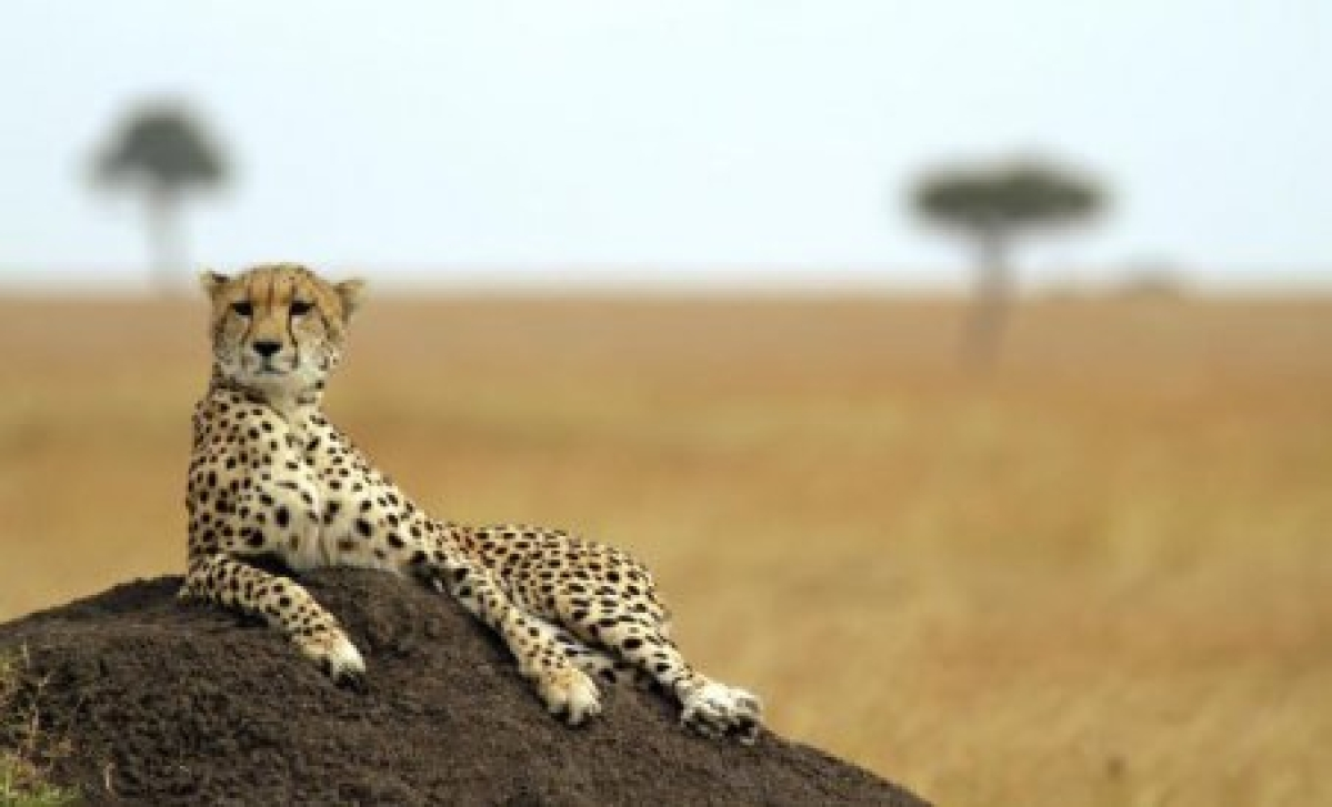 Madhya Pradesh: Wildlife Institute of India experts evaluate sites for cheetah re-introduction
