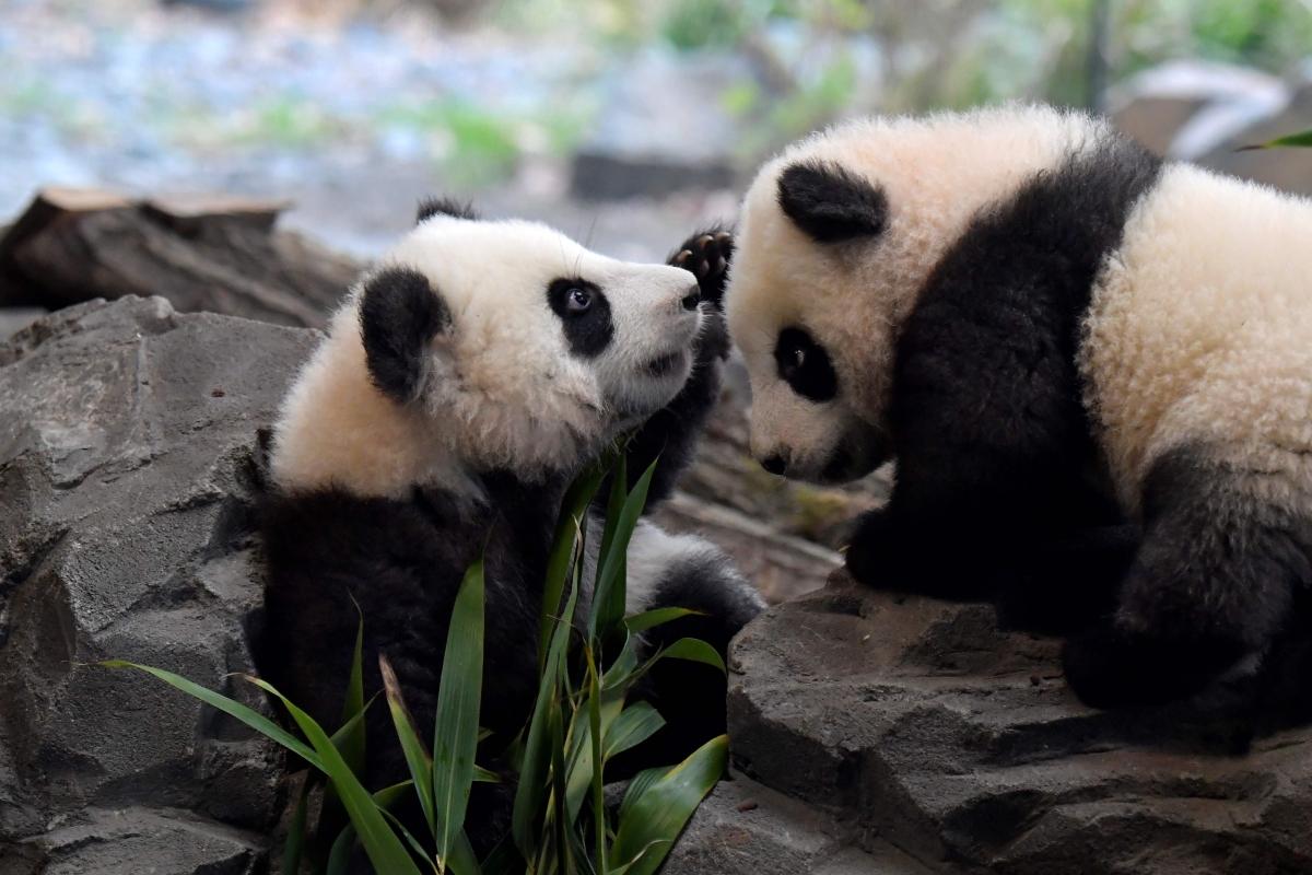 US national zoo awaits birth of pandemic panda cub