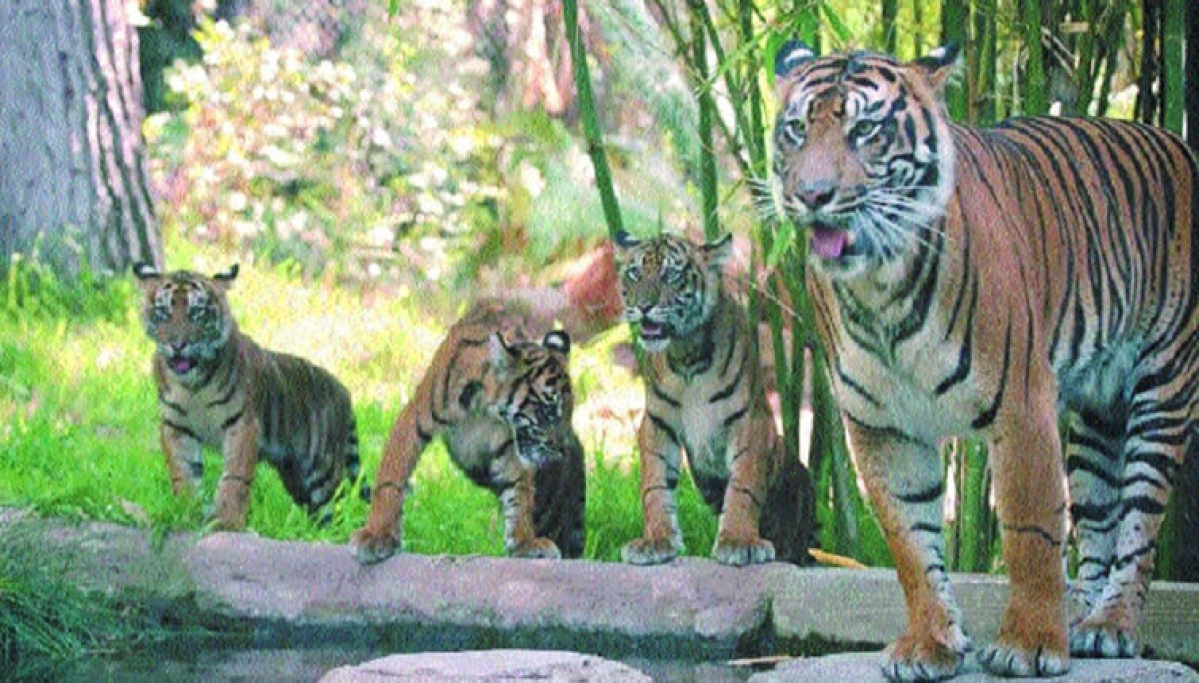 Bhopal: Tigress gives birth twice within six months!