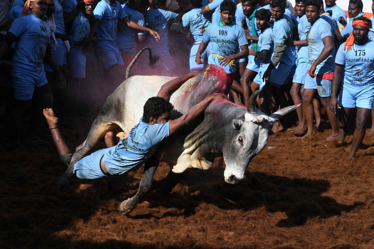 A participant tries to control a bull during the annual bull taming 'Jallikattu' festival in  Allanganallur village on the outskirts of Madurai in the southern state of Tamil Nadu on January 17, 2020.