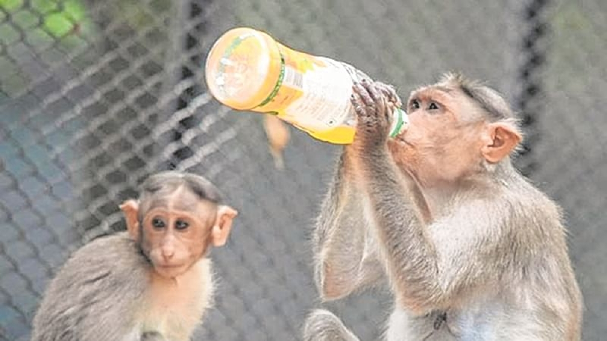 Indore: After monkeys cause fault at pump station, water supply to be hit in Western areas